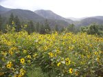 Brown Eye'd Susans from Cimarron